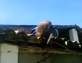 Macaco toma cachaça e ameaça frequentadores de bar com peixeira