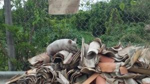 porcos envenenados em são francisco do conde